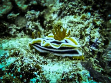Orange, white and black striped nudibranch