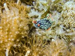 A pretty orange, green and black nudibranch