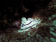 White and black nudibranch